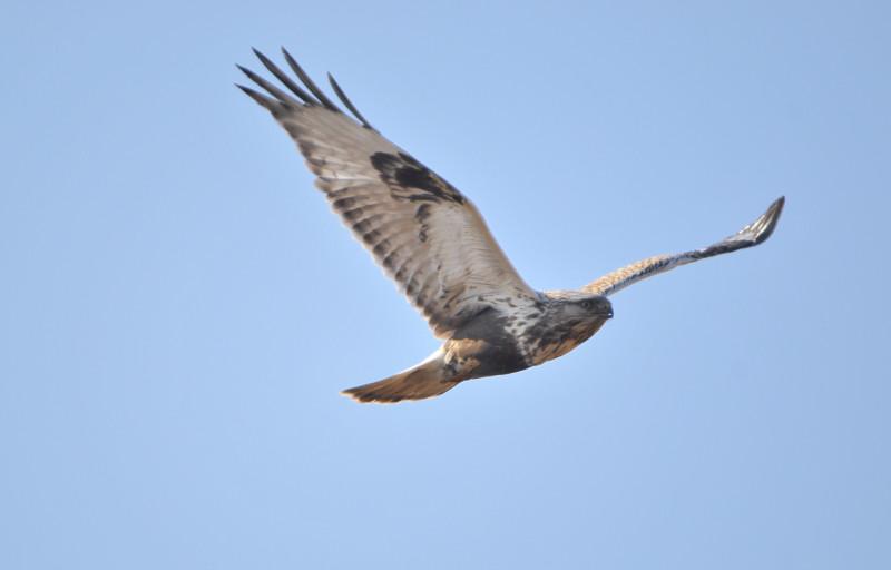 ケアシノスリ(Rough-legged buzzard)/2010.01_b0148352_0114857.jpg