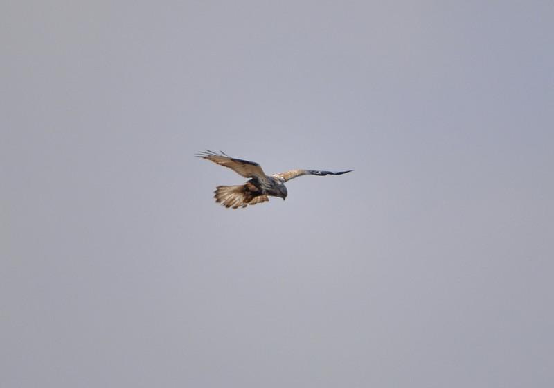 ケアシノスリ(Rough-legged buzzard)/2010.01_b0148352_0121944.jpg