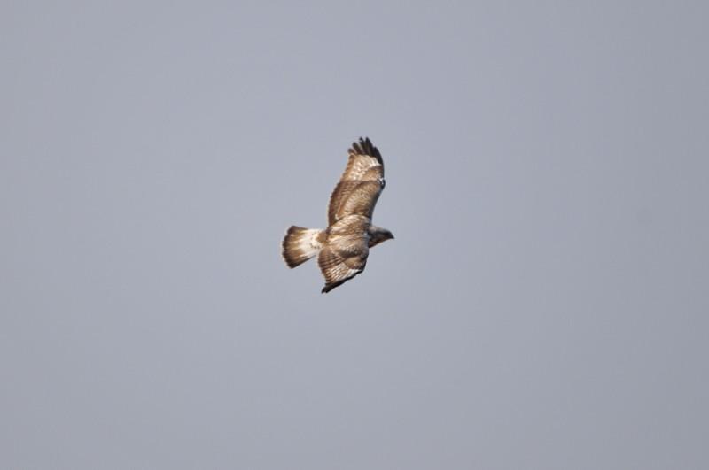 ケアシノスリ(Rough-legged buzzard)/2010.01_b0148352_0122100.jpg
