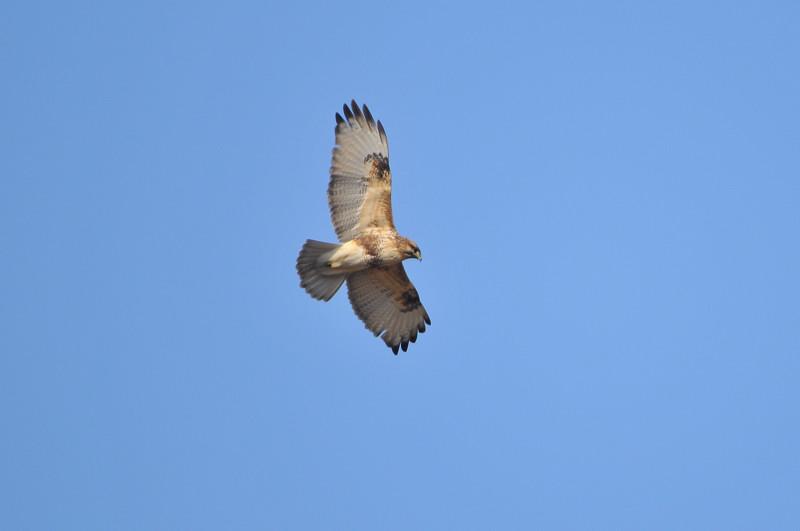 ケアシノスリ(Rough-legged buzzard)/2010.01_b0148352_0124631.jpg