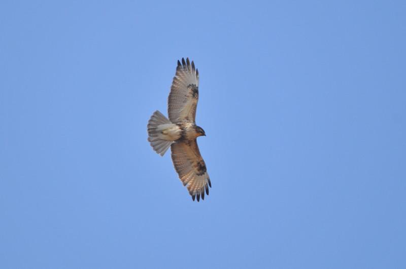 ケアシノスリ(Rough-legged buzzard)/2010.01_b0148352_0125783.jpg