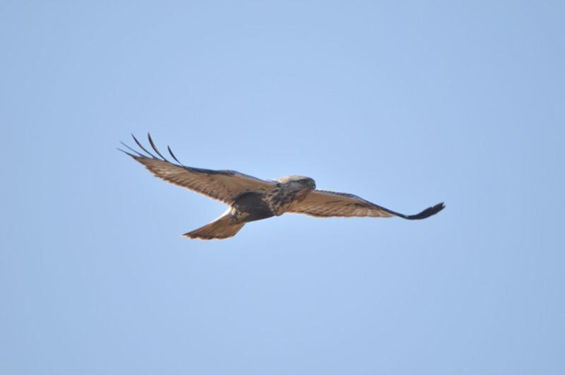 ケアシノスリ(Rough-legged buzzard)/2010.01_b0148352_0132625.jpg