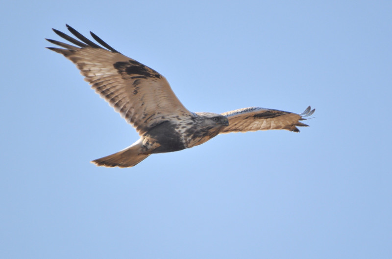 ケアシノスリ(Rough-legged buzzard)/2010.01_b0148352_0133623.jpg