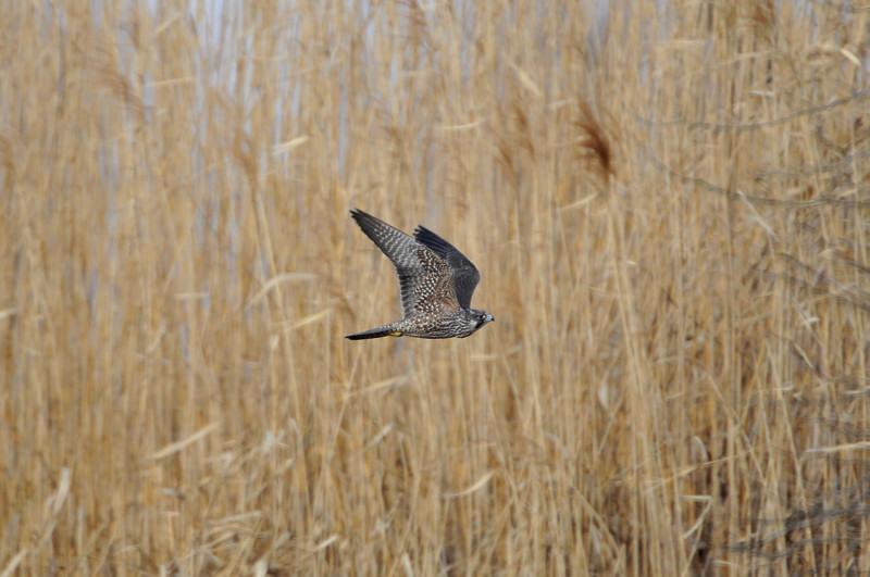 ケアシノスリ(Rough-legged buzzard)/2010.01_b0148352_013514.jpg