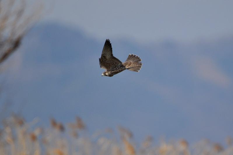 ケアシノスリ(Rough-legged buzzard)/2010.01_b0148352_0142178.jpg