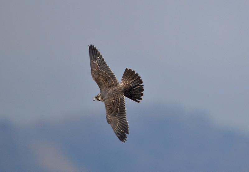 ケアシノスリ(Rough-legged buzzard)/2010.01_b0148352_014585.jpg
