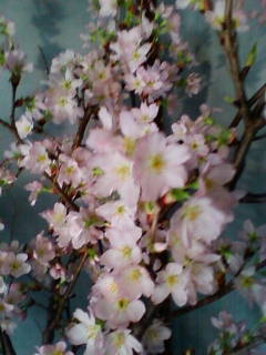 啓翁桜(ケイオウサクラ)_f0138653_90786.jpg