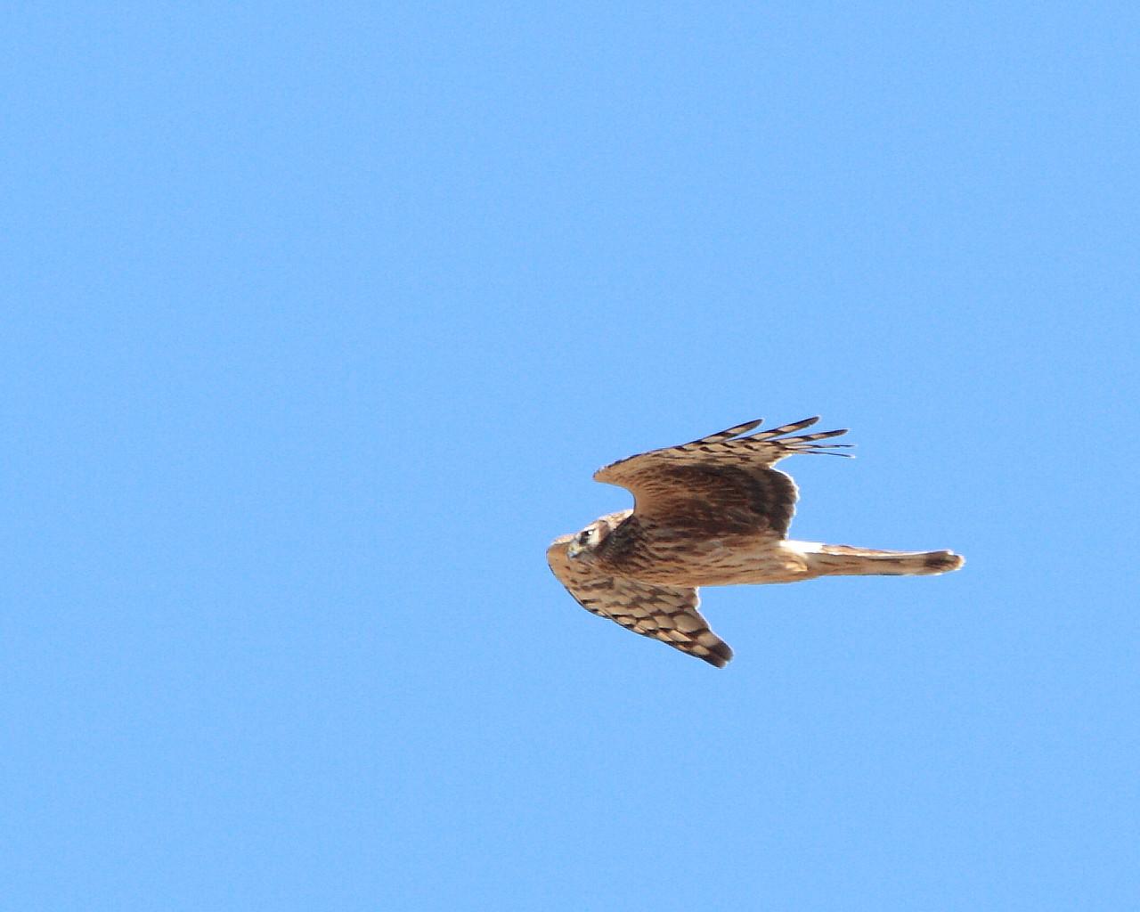 ハイイロチュウヒ雌も飛んでました。_f0105570_2220459.jpg