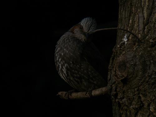 水元公園で見た鳥その3(ヒヨドリ)_e0089232_21452829.jpg