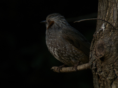 水元公園で見た鳥その3(ヒヨドリ)_e0089232_21453511.jpg