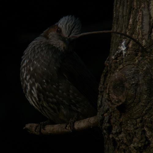 水元公園で見た鳥その3(ヒヨドリ)_e0089232_21454191.jpg