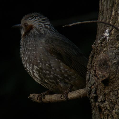 水元公園で見た鳥その3(ヒヨドリ)_e0089232_21454712.jpg