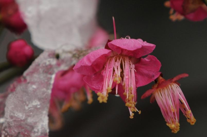 氷雨に濡れる紅梅@散歩_d0056382_0181213.jpg