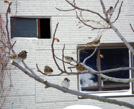 雪布団と雀と、ついでにHuuちゃん♪_a0136293_15254760.jpg
