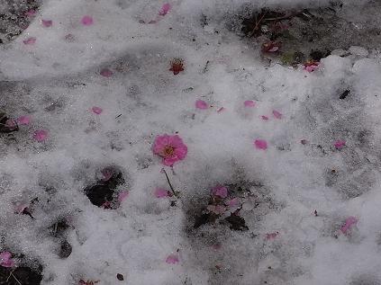 雪の大倉山梅林♪_b0105897_12393467.jpg