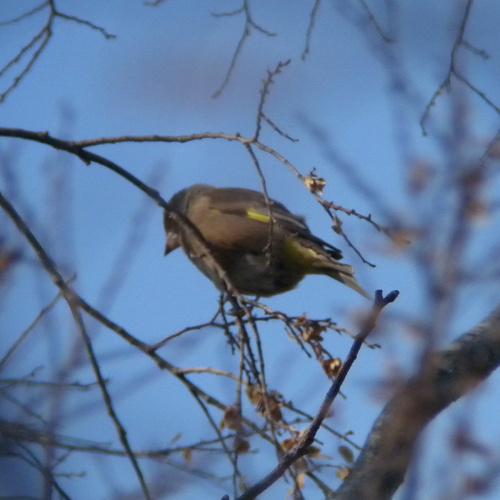 水元公園で見た鳥その5(カワラヒワ、シロハラ)_e0089232_2271051.jpg