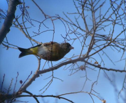 水元公園で見た鳥その5(カワラヒワ、シロハラ)_e0089232_2271846.jpg