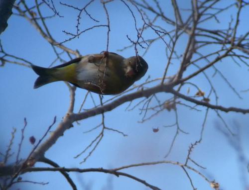 水元公園で見た鳥その5(カワラヒワ、シロハラ)_e0089232_2272574.jpg