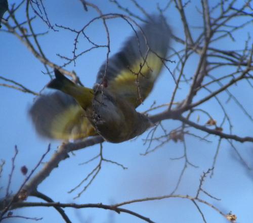 水元公園で見た鳥その5(カワラヒワ、シロハラ)_e0089232_2273235.jpg