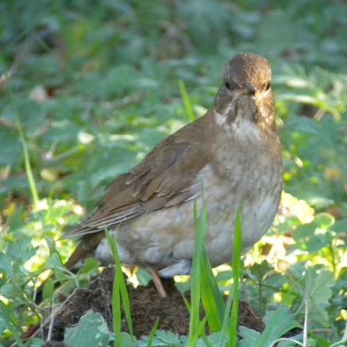 水元公園で見た鳥その5(カワラヒワ、シロハラ)_e0089232_2274147.jpg