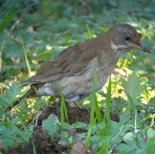 水元公園で見た鳥その5(カワラヒワ、シロハラ)_e0089232_2274871.jpg
