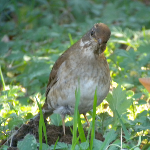 水元公園で見た鳥その5(カワラヒワ、シロハラ)_e0089232_2275658.jpg