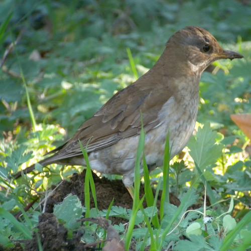 水元公園で見た鳥その5(カワラヒワ、シロハラ)_e0089232_228386.jpg