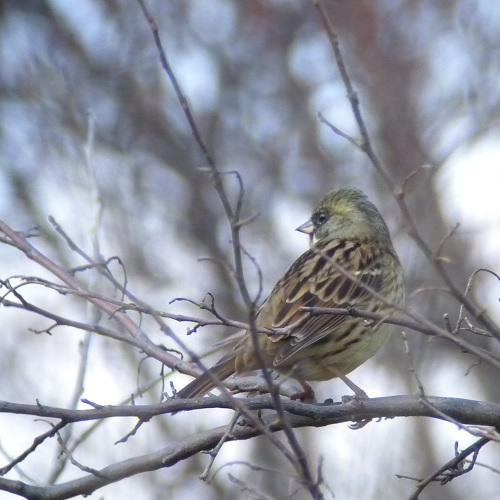 水元公園で見た鳥その6(アオジ、ジョウビタキ、ヒヨドリ)_e0089232_0215183.jpg