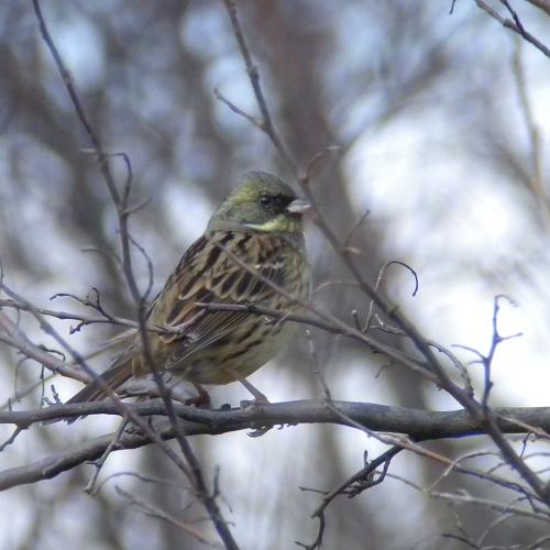 水元公園で見た鳥その6(アオジ、ジョウビタキ、ヒヨドリ)_e0089232_0215887.jpg