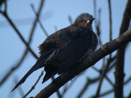 水元公園で見た鳥その6(アオジ、ジョウビタキ、ヒヨドリ)_e0089232_0221333.jpg