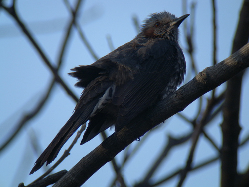 水元公園で見た鳥その6(アオジ、ジョウビタキ、ヒヨドリ)_e0089232_022195.jpg