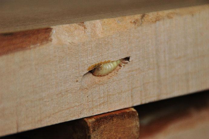 木食い虫を喰う : 木の気持