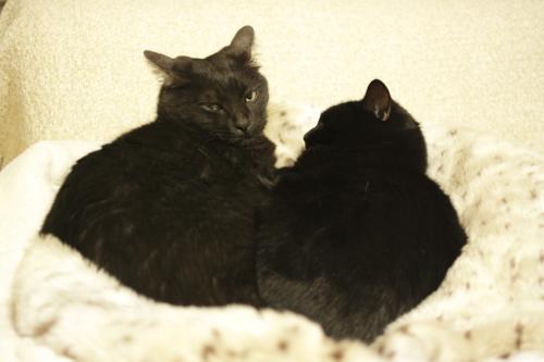 めずらしく一緒にもちベッドにいる黒黒兄妹
