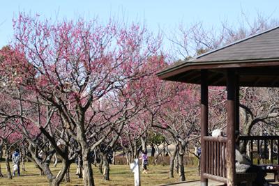 青葉の森公園の梅が咲き始めました!_c0165636_22284436.jpg