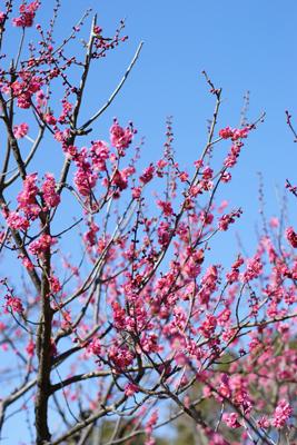 青葉の森公園の梅が咲き始めました!_c0165636_2229199.jpg