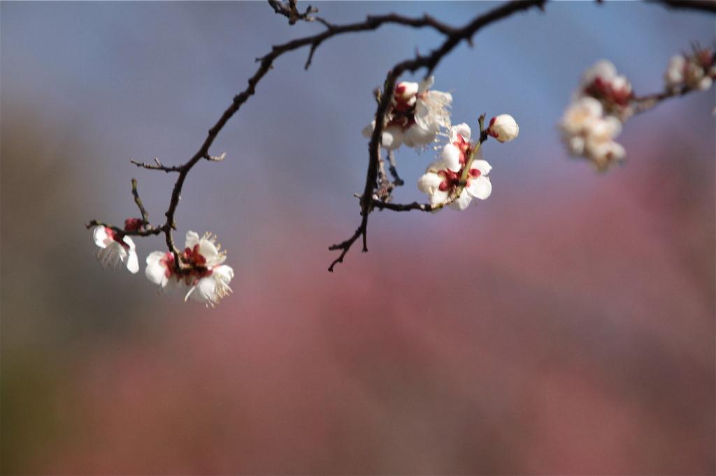 梅の花_e0071967_19415249.jpg