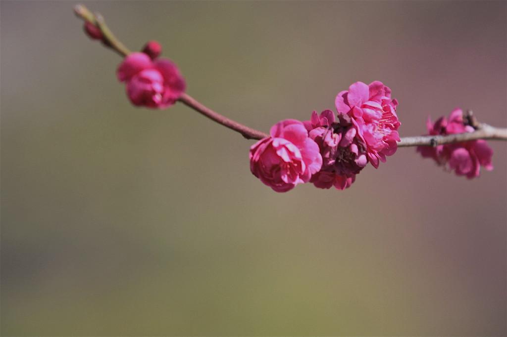 梅の花_e0071967_19421528.jpg