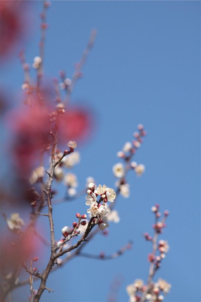 梅の花_e0071967_19422697.jpg