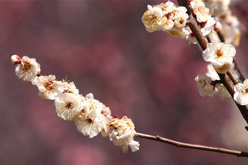 梅の花_e0071967_19423757.jpg