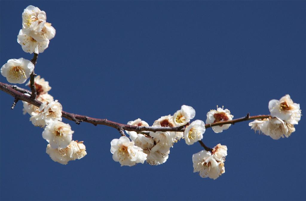 梅の花_e0071967_19425325.jpg