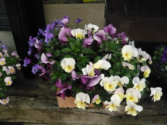 初めて花を育てた智ちゃんのスモールガーデン_b0137969_19573586.jpg