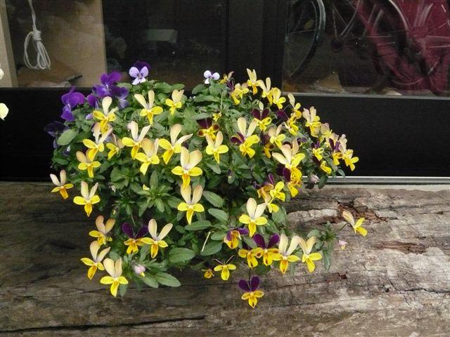 初めて花を育てた智ちゃんのスモールガーデン_b0137969_19585124.jpg