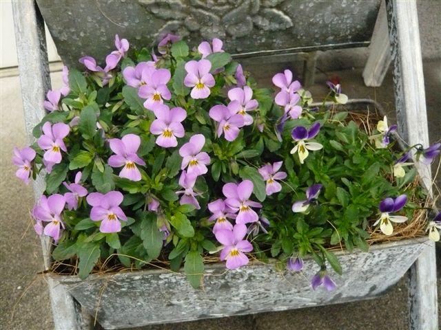 初めて花を育てた智ちゃんのスモールガーデン_b0137969_19592029.jpg