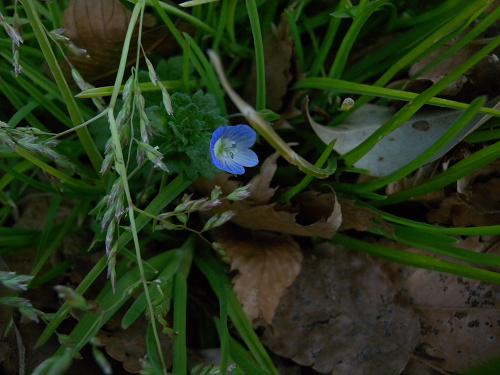 水元公園で見た花 その1(オオイイヌノフグリ)_e0089232_23101350.jpg