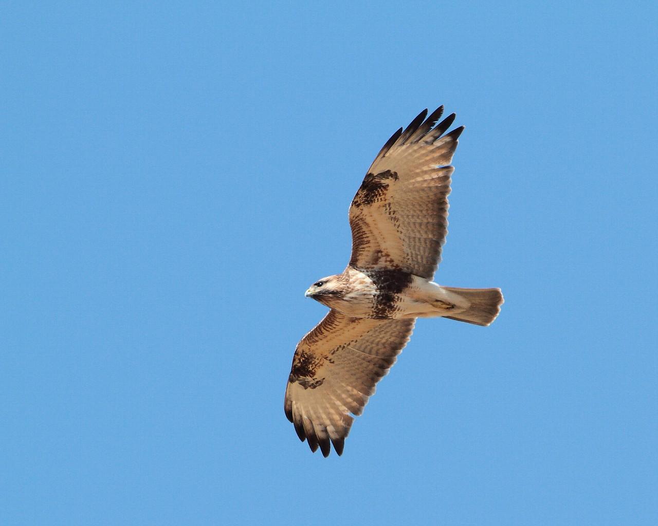 伊良湖で逢えそうな猛禽達_f0105570_2135406.jpg