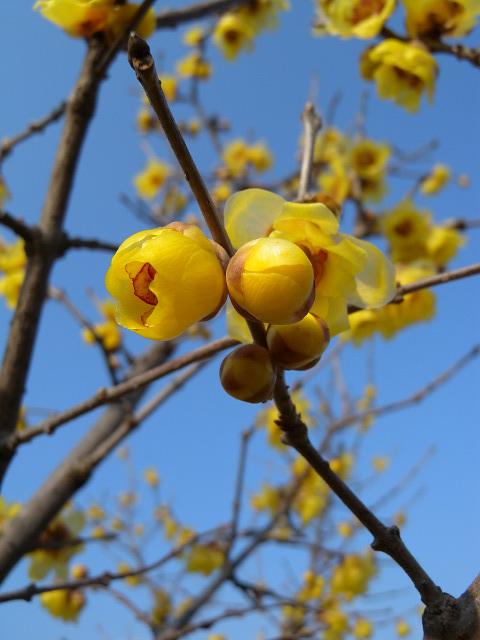 水元公園で見た花 その2(ロウバイ)_e0089232_8571044.jpg