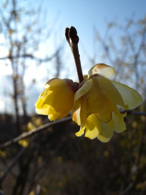 水元公園で見た花 その2(ロウバイ)_e0089232_8571986.jpg