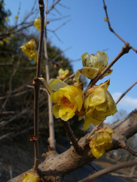 水元公園で見た花 その2(ロウバイ)_e0089232_8573216.jpg