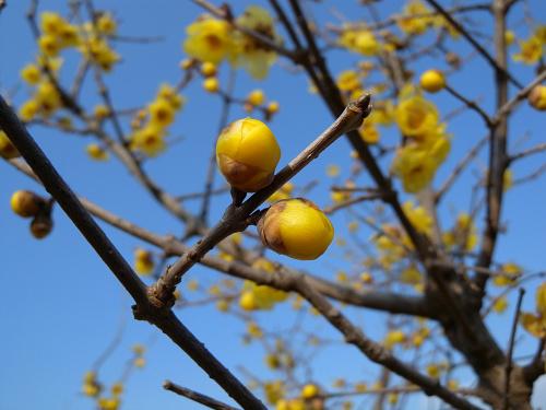水元公園で見た花 その2(ロウバイ)_e0089232_8581065.jpg