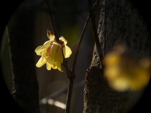 水元公園で見た花 その2(ロウバイ)_e0089232_8584541.jpg